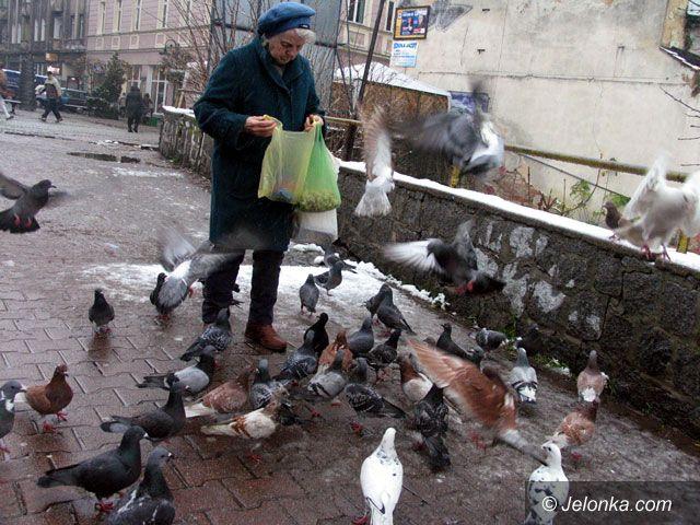 JELENIA GÓRA: Jeleniogórska wojna z gołębiami