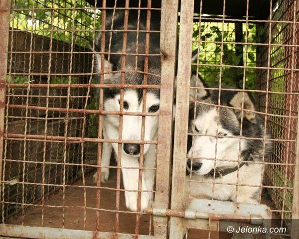 Jelenia Góra / region: Dwa husky'e czekają na właściciela w schronisku