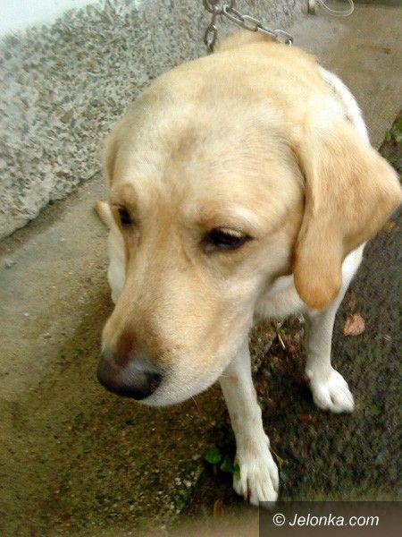 JELENIA GÓRA: Pies czeka na człowieka. Czyj to labrador?