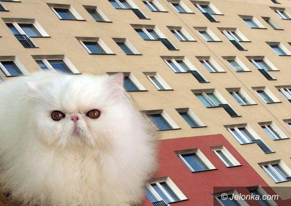 """JELENIA GÓRA: Hodowla """"persów"""" w mieszkaniu? Życie w kocim smrodzie"""