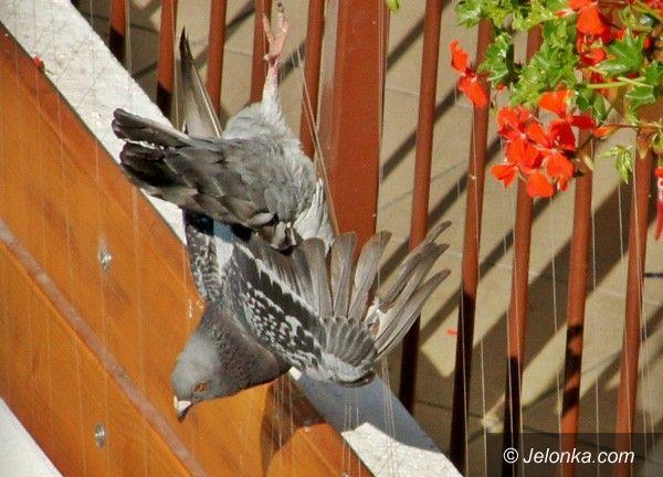 JELENIA GÓRA: Okrutna walka z gołębiami