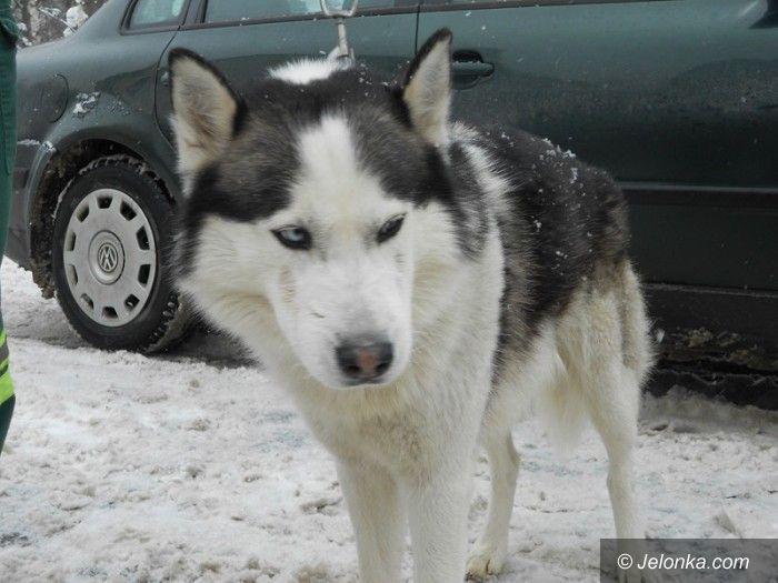 Jelenia Góra: Husky czeka na swojego opiekuna