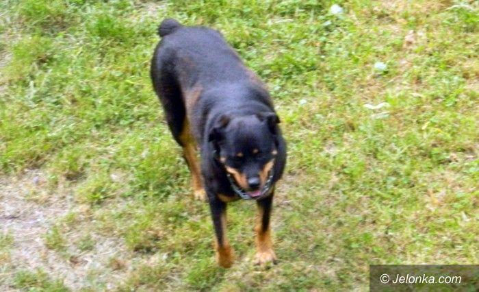 Jelenia Góra: Rottweiler biega luzem. Czy to się skończy?