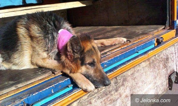 Region/Jelenia Góra: Kto przygarnie psa okaleczonego przez zwyrodnialca?