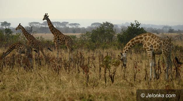 Jelenia Góra: O Parkach Narodowych Ugandy w Muzeum Przyrodniczym