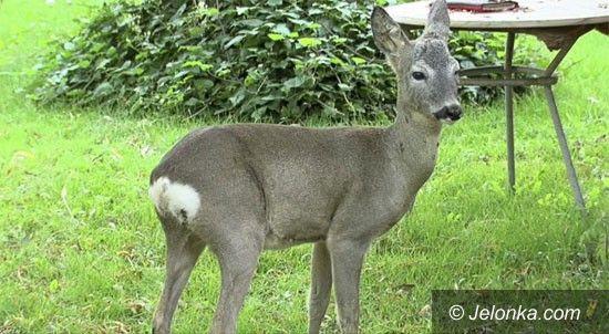 Jelenia Góra: Dzikie zwierzę w ogrodzie – kto może pomóc?