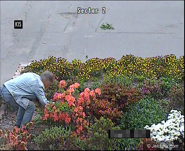 Jelenia Góra: Niszczyli miejską zieleń i