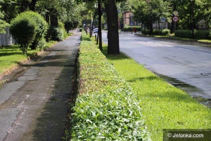 Jelenia Góra: Przycinają krzewy wzdłuż ulic – jest bezpieczniej