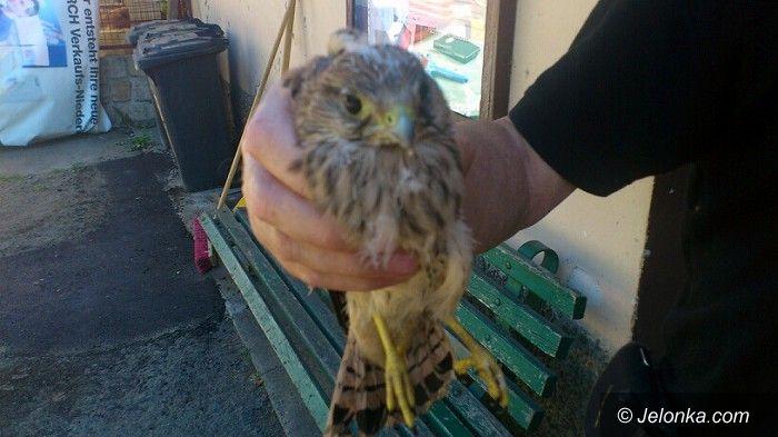 Jelenia Góra: Strażnicy miejscy uratowali młodą pustułkę