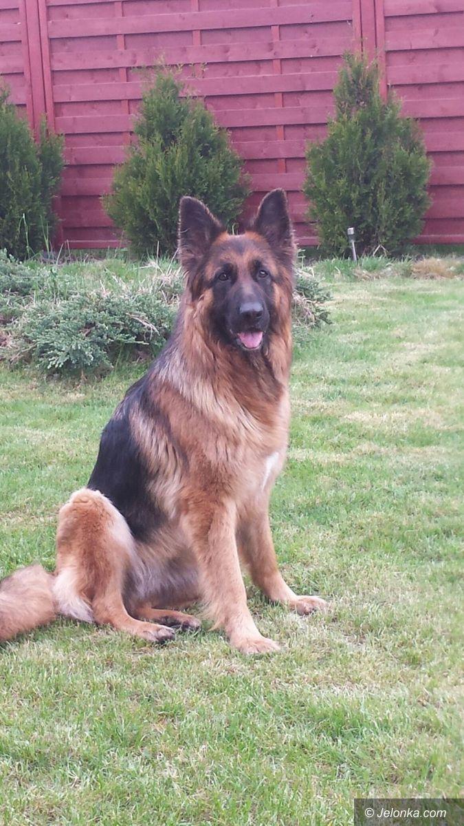 Jelenia Góra: Czy ktoś widział tego psa?