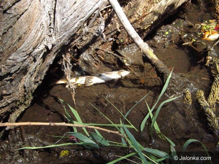 Mysłakowice: W rzece Łomnica martwe ryby. Kto zawinił?
