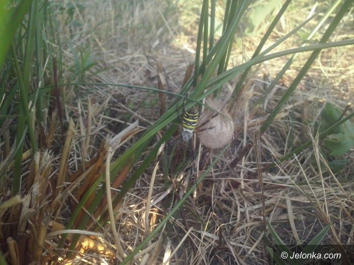 Jelenia Góra: Tygrzyk paskowany (groźny?) mieszkaniec naszych łąk