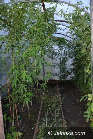 Region: Uprawiał ziele konopi indyjskich w ogródku