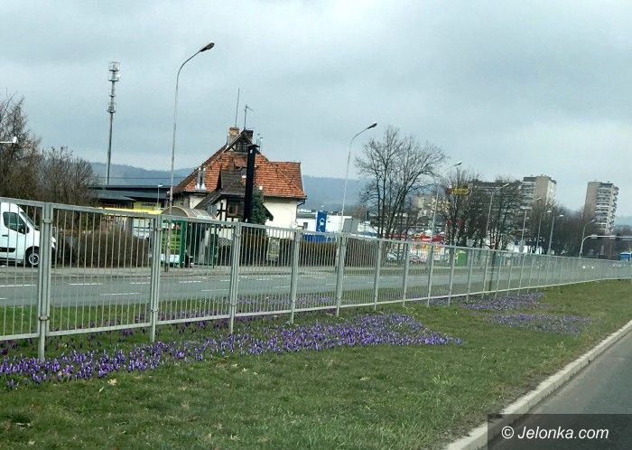 Jelenia Góra: Dziesiątki tysięcy kwiatów na miejskich klombach i rabatach
