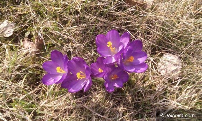 Region: Sezon na krokusy – pięknie już kwitną