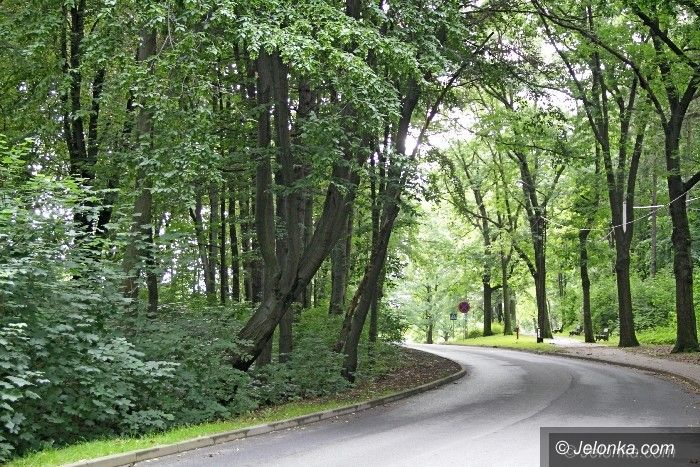 Jelenia Góra: To drzewo w każdej chwili może się przewrócić?
