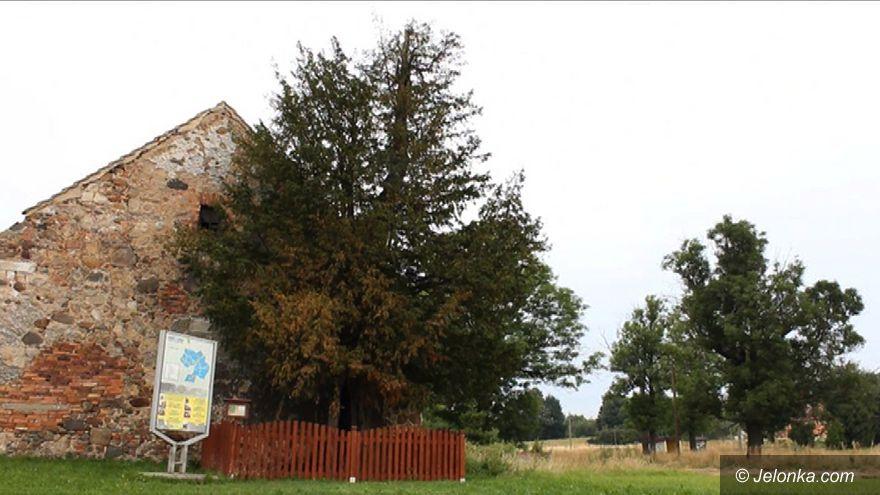 Jelenia Góra: Na ratunek najstarszemu drzewu w Polsce