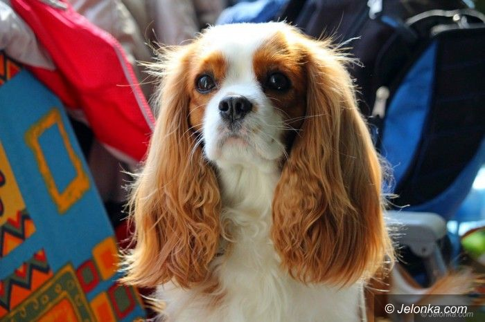 Jelenia Góra: Jesienna wystawa psów. Dziś kolejna