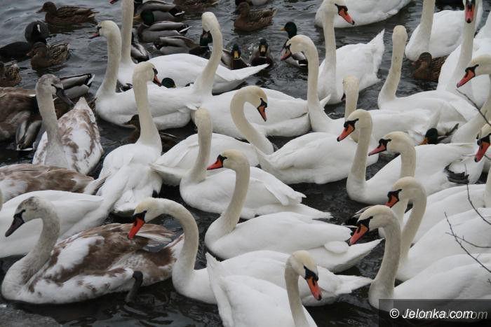 Jelenia Góra: U łabędzi na Głowackiego wykryto ptasią grypę