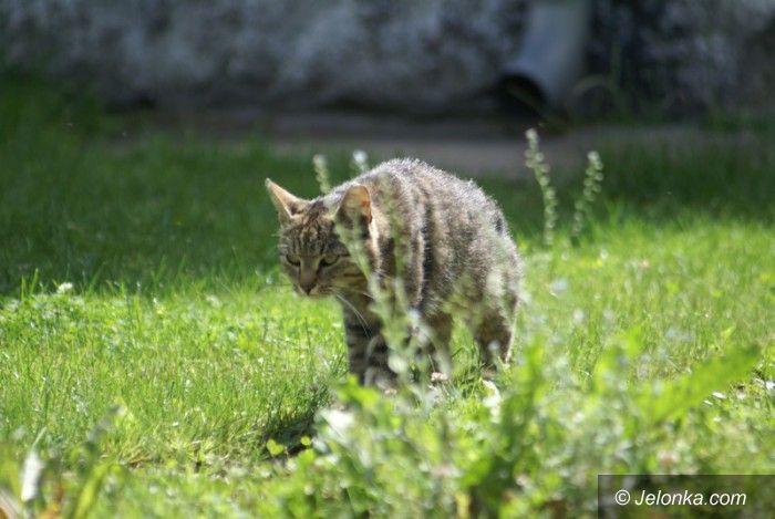 Jelenia Góra: Bezpłatne sterylizacje w mieście wolno żyjących kotów
