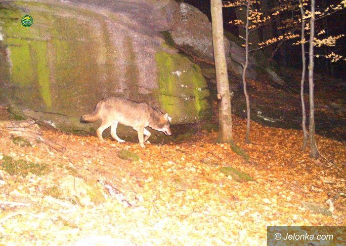 Region: Wilki wróciły w Karkonosze