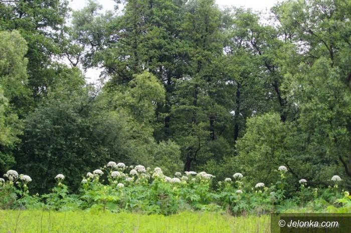 Region: Barszcz Sosnowskiego – walka z niebezpieczną rośliną