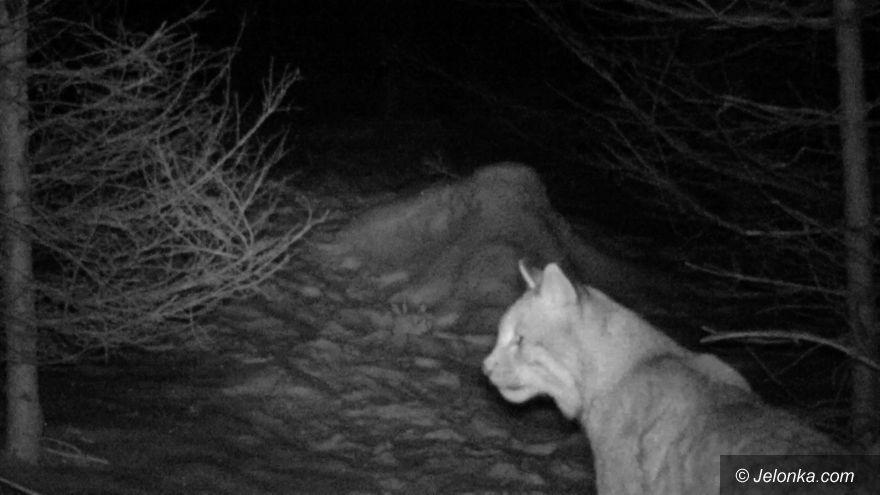 Region: Czy na naszym terenie żyją rysie i wilki?