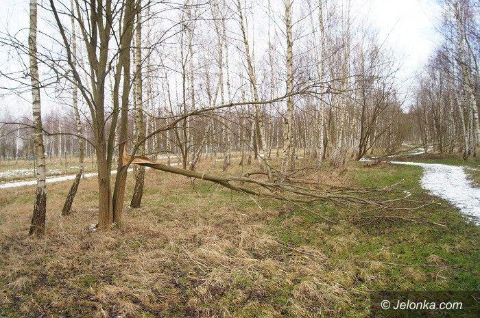Jelenia Góra: Nie wszystkie drzewa umierają stojąc