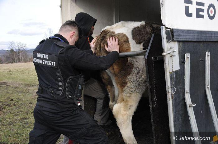 Podgórzyn: Zaniedbane krowy zabrane w Podgórzynie