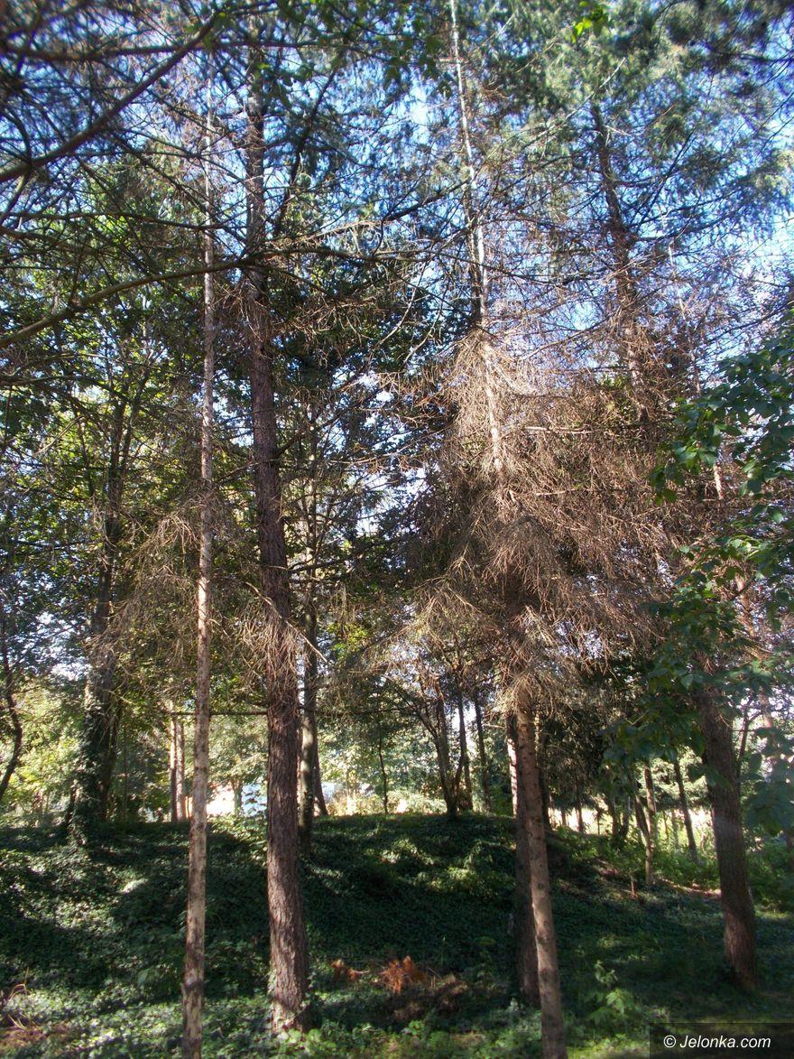 Jelenia Góra: Chore drzewa trzeba  wyciąć