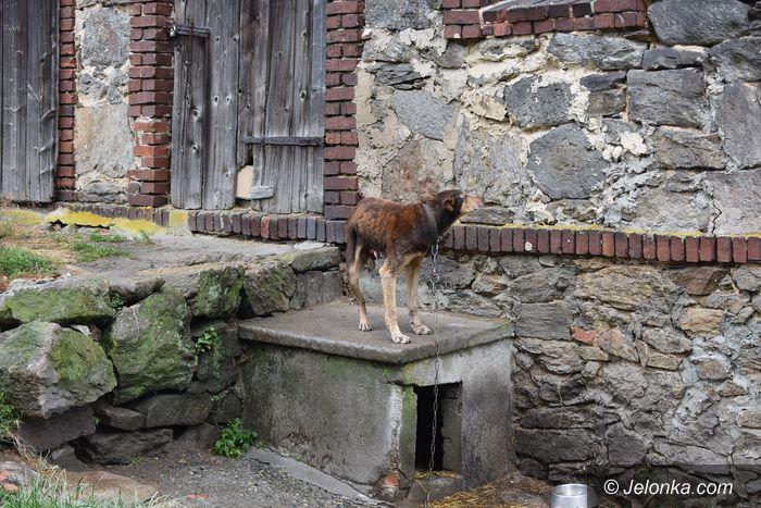Stara Kamienica: Ataki wilków na psy