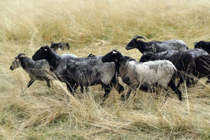 Powiat: Żywe kosiarki na karkonoskich łąkach