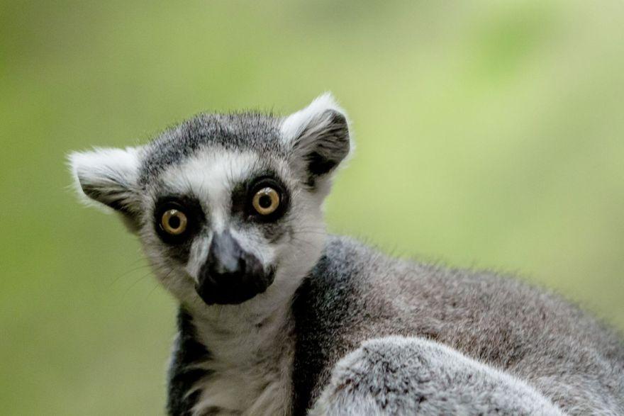 Wałbrzych: Lemury z Czech w wałbrzyskiej Palmiarni