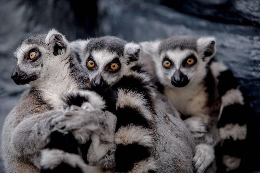 Wałbrzych: W palmiarni są nowi mieszkańcy–to lemury