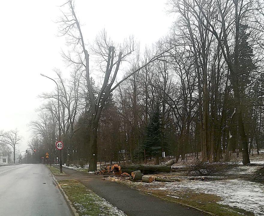 Jelenia Góra: Wycinka chorych drzew