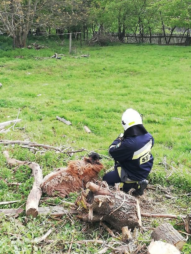 Dziwiszów: Strażacy ratowali uwięzioną owcę