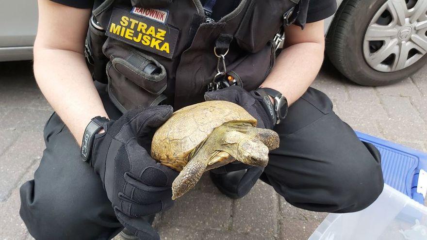 Jelenia Góra: Ucieczka żółwia ze szczęśliwym zakończeniem