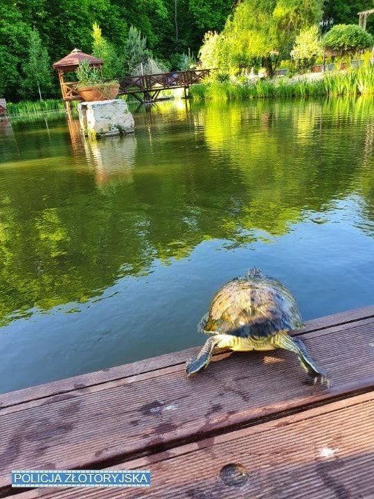 Złotoryja: Dom dla porzuconego żółwia