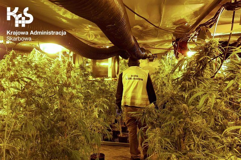 """Region: Producenci marihuany zostali """"namierzeni"""""""