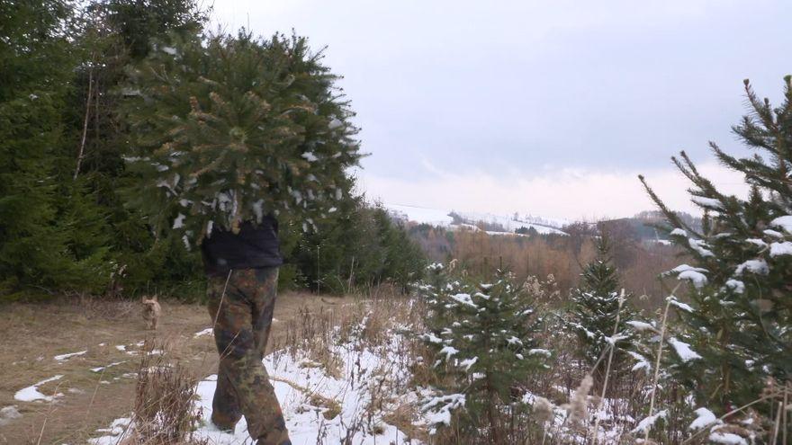Jelenia Góra: Na złodziei choinek z lasów czeka kara