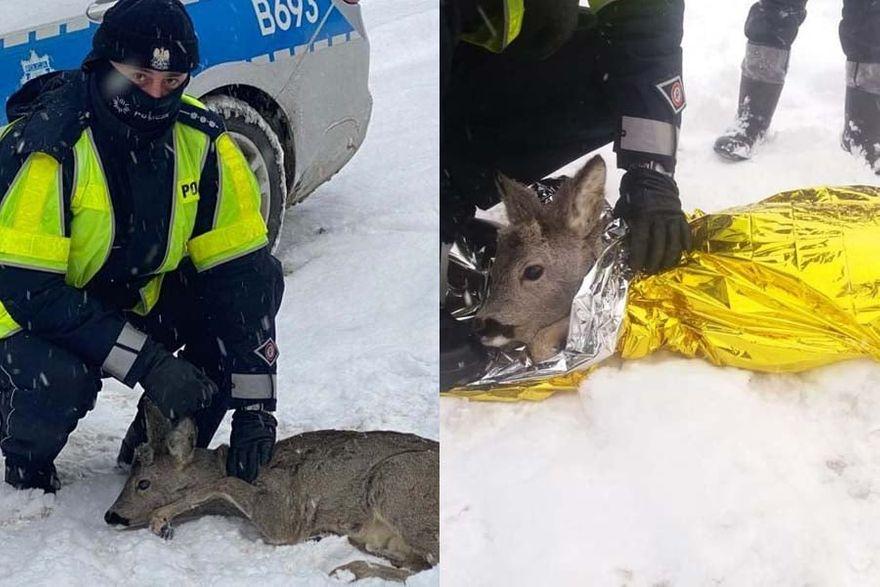 Kamienna Góra: Policjanci pomogli sarnie