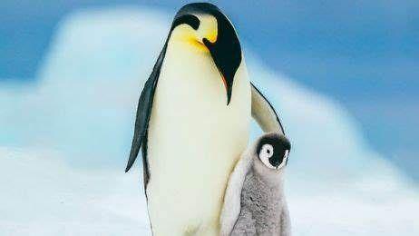 Kraj: Dzień Pingwina
