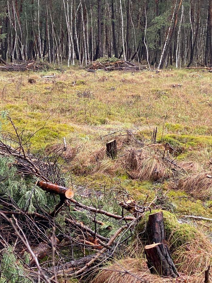 Trzcińsko: Leśnicy: wycinki konieczne