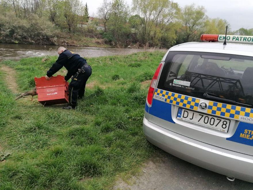 Jelenia Góra: Na ratunek kaczkom