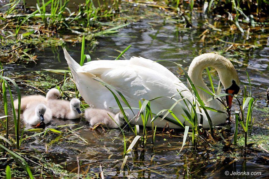 Jelenia Góra: Łabędzia rodzinka atrakcją na Bobrze