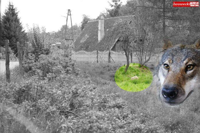Region: Grasują wilki