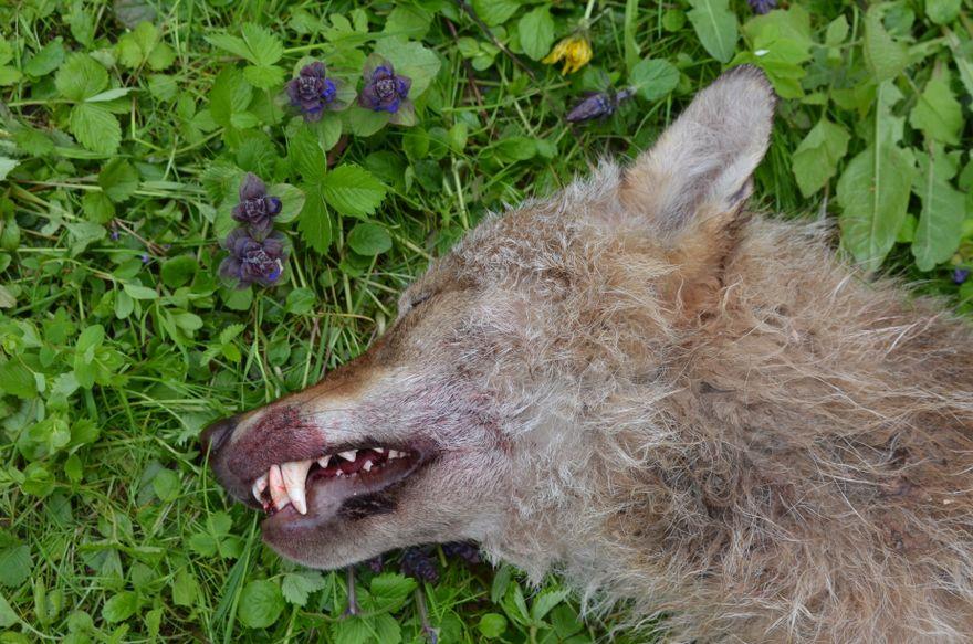 Region: Znaleziono martwego wilka