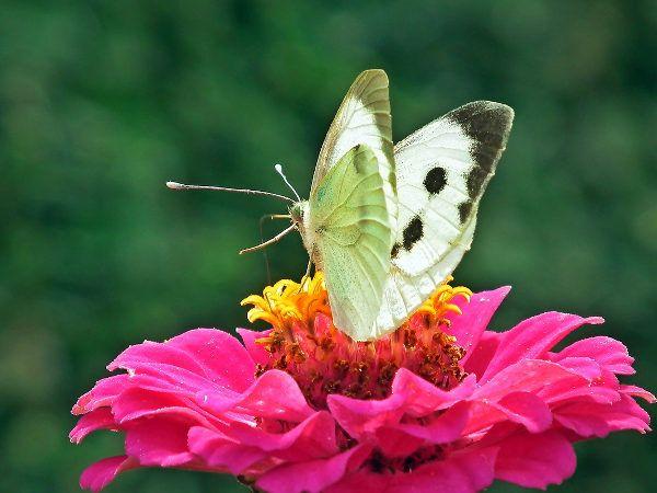 Kraj: Dzień Motyla Kapustnika