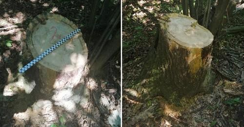 Leśna: Ukradli drewno z lasu