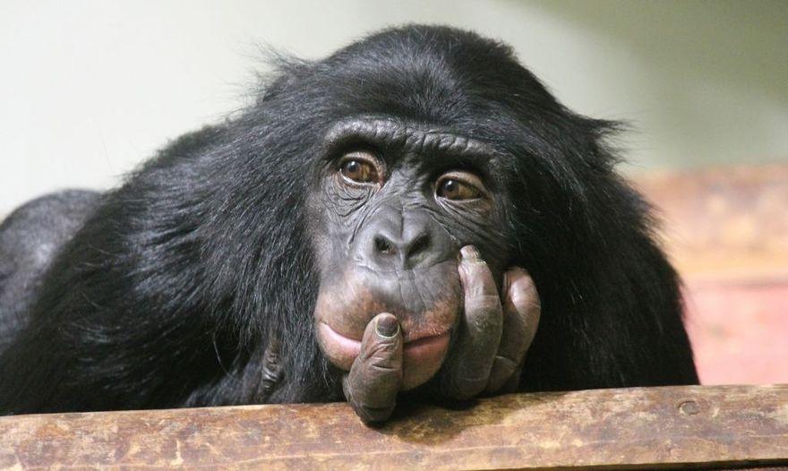 Kraj: Dzień Szympansa